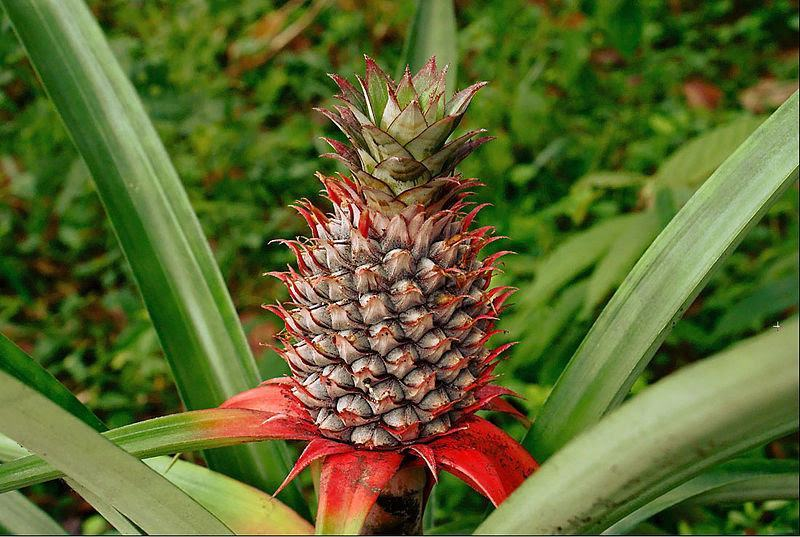 Pineapple - Natural Pain Killer