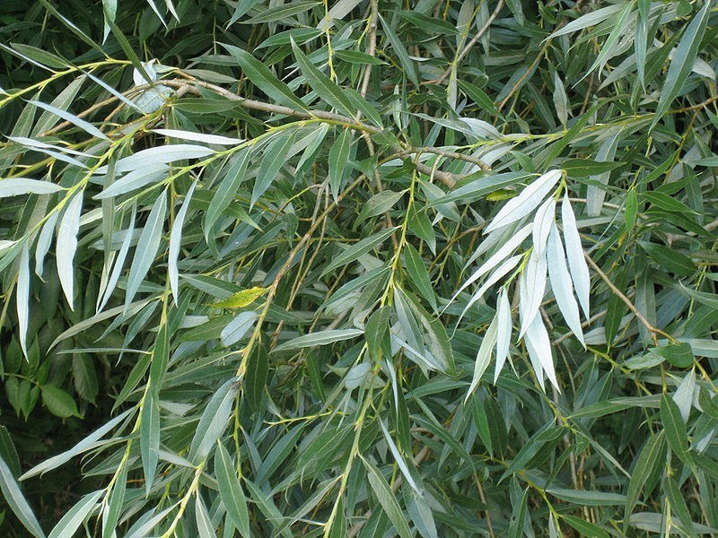 White Willow - Natural Pain Killer