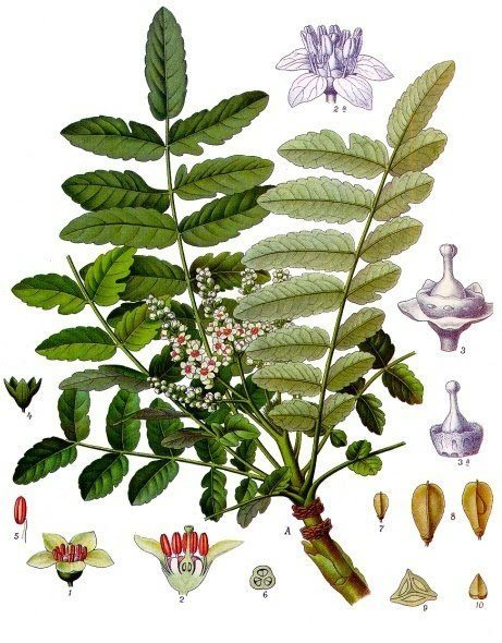 Boswellia - Natural Pain Killer
