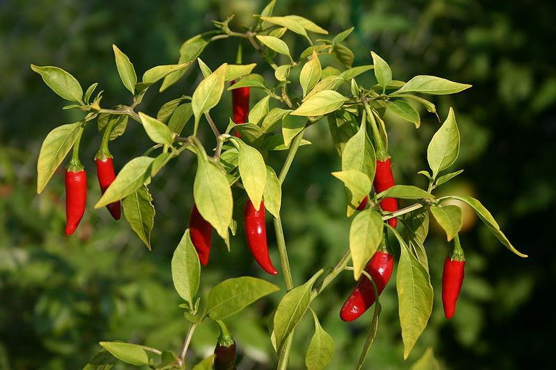 Capsaicin - Natural Pain Killer